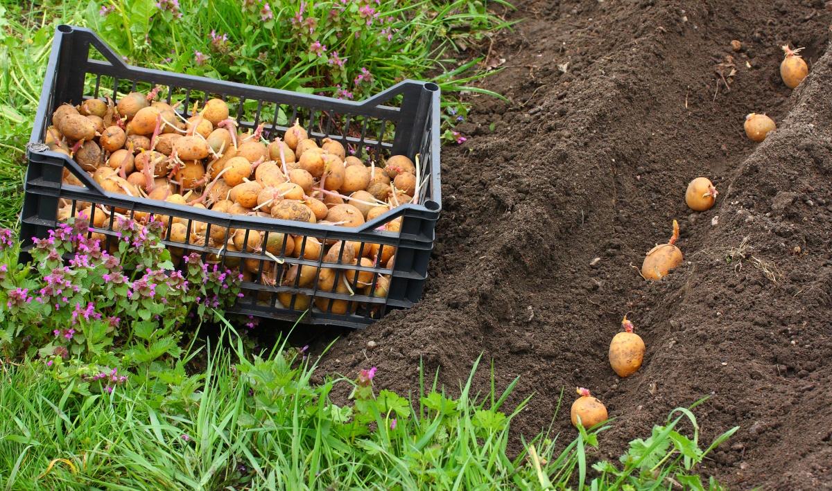 На піщаному ґрунті краще садити в траншеї