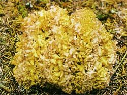 Спарассис кучерявий, грибна капуста