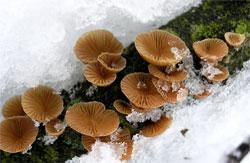 Меланотус філліпса (Melanotus phillipsii)