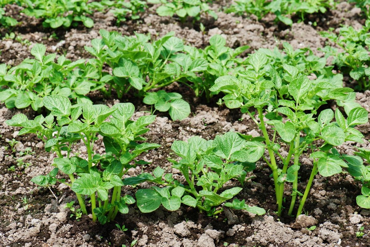 Можна саджати картоплю і просто на рівному ділянці