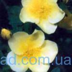 сорт шипшини Троянда китайська золота