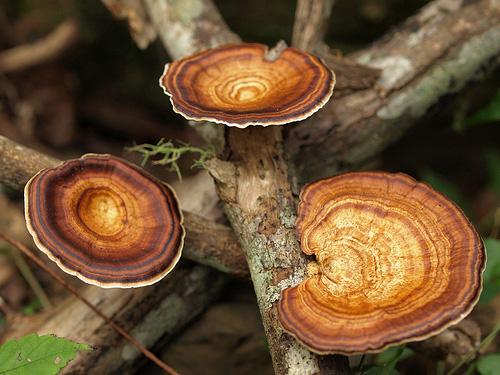 Микропорус желтоножковый (Microporus xanthopus)