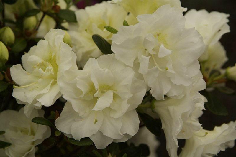 Азалія японська (Azalea japonica) Schneeperle