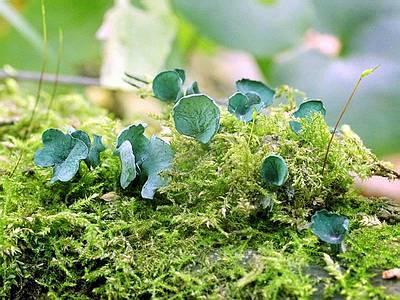 Хлороцибория синьо-зелена Chlorociboria aeruginosa