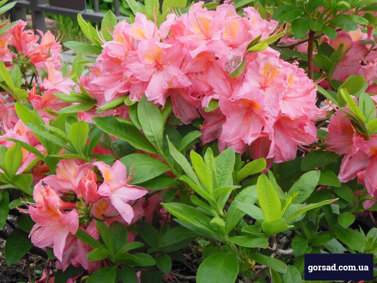 Азалія листопадна крупноквіткова гібрид knapHill