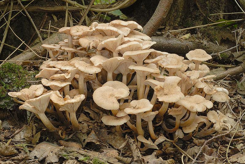 Опеньок ссыхающийся (Armillaria tabescens)