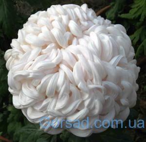 Хризантеми-Snowball