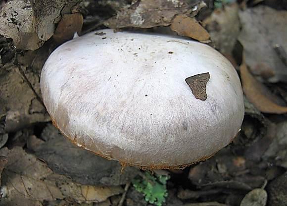 Паутинник сріблястий (Cortinarius argentatus)