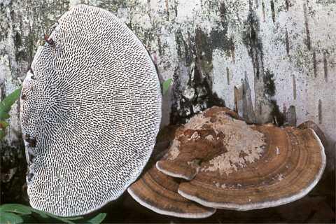 Трутовик бугристий (Daedaleopsis confragosa)