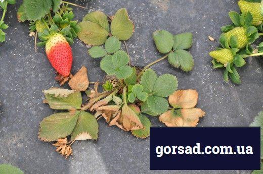 Фузаріоз полуниці