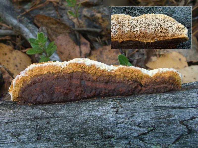 Глеофиллум довгастий (Gloeophyllum protractum)
