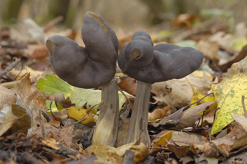 Лопастник ямчатый (Helvella lacunosa)