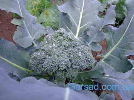 Kapusta-brokkoli