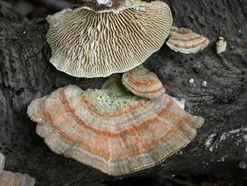 Лензитес березовий (Lenzites betulina)