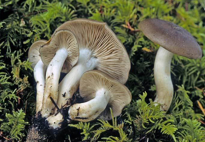 Лиофиллум панцерний (Lyophyllum loricatum)