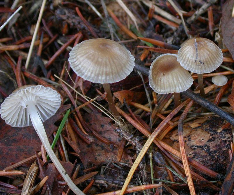 Мицена звичайна (Mycena vulgaris)
