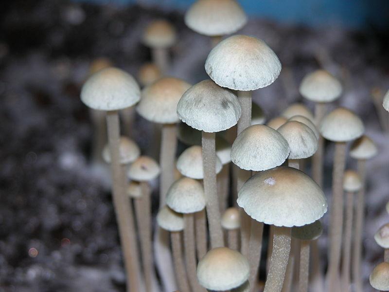 Панеолус улюблена (Panaeolus cyanescens)