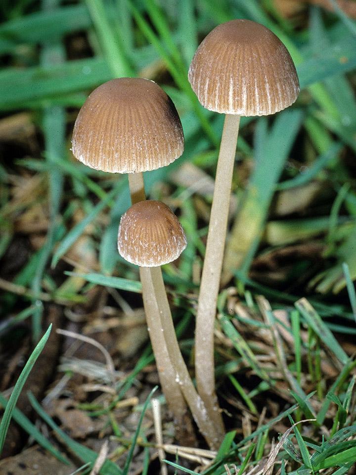 Псатирелла зморшкувата (Psathyrella corrugis)