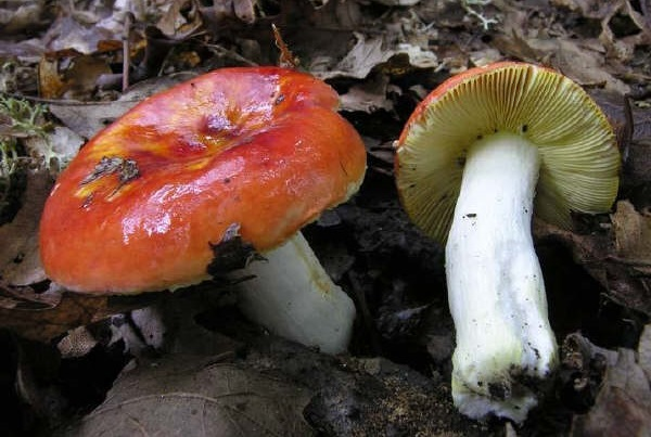Сироїжка золотисто-червона (Russula aurata)