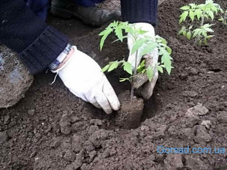 пересаджування розсади помідор