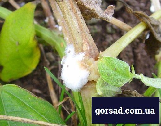 Біла гниль (Sclerotinia sclerotiorum)
