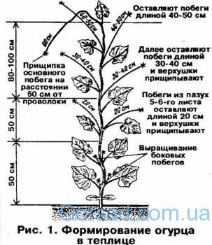 Shema-formirovanija-rastenij-ogurca