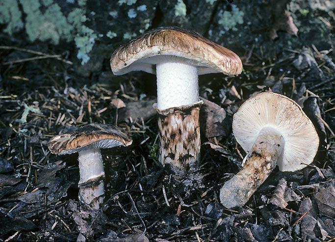 Рядовка взута (Tricholoma caligatum)