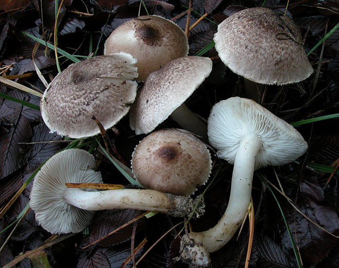 Рядовка срібляста (Tricholoma scalpturatum)