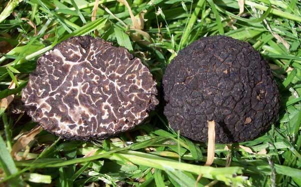 Трюфель зимовий чорний (Tuber brumale)
