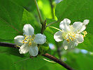 Квітка чоловічої рослини актинідії коломікта