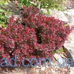 berberis-thunbergii-atropurpurea-nana