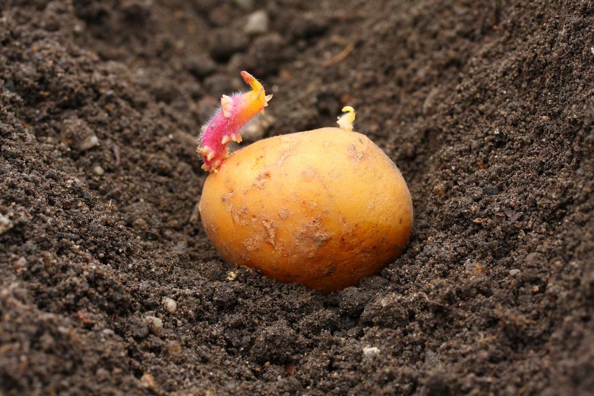 Настає час посадки картоплі