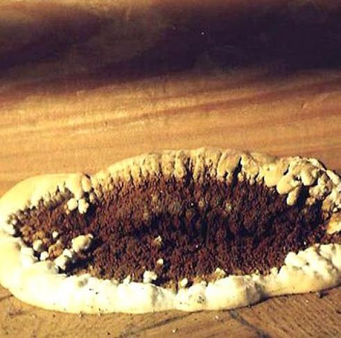 Домовий гриб