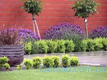 garden-design-lavender