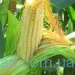 kukuruza2