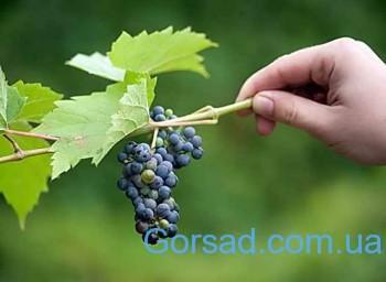 melkii_vinograd