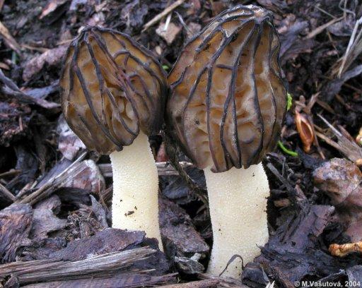Сморчок полусвободный (Morchella semilibera)