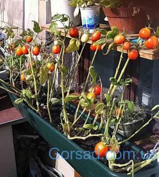 pomidori_doma