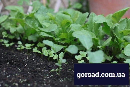 Сходи редиски з різними інтервалами висіву насіння