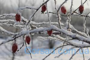 shipovnik-zimoy