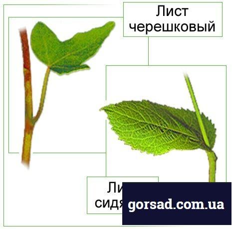 sidyachie-listya