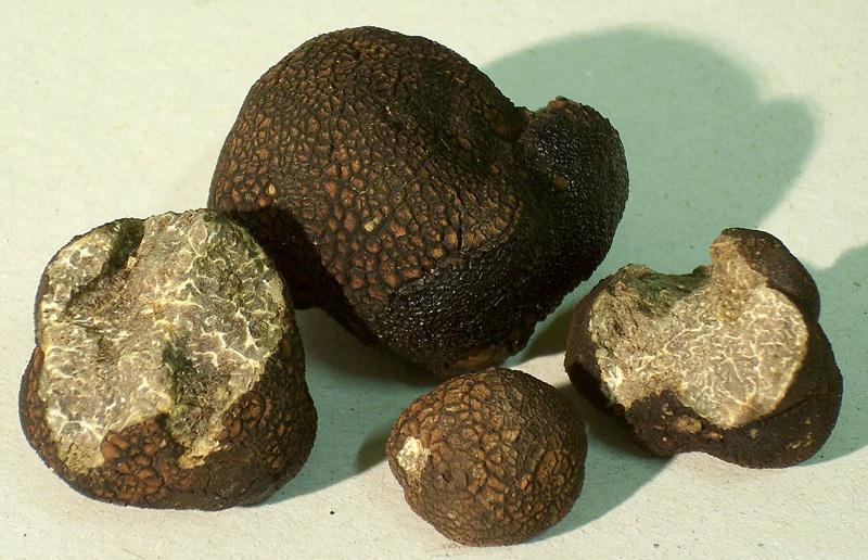 Трюфель гладкий чорний (Tuber macrosporum)