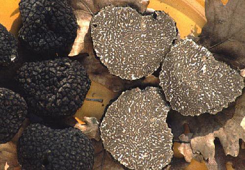 Трюфель Бургундський (Tuber uncinatum)