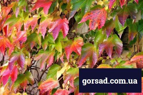 vinograd-amurskij6