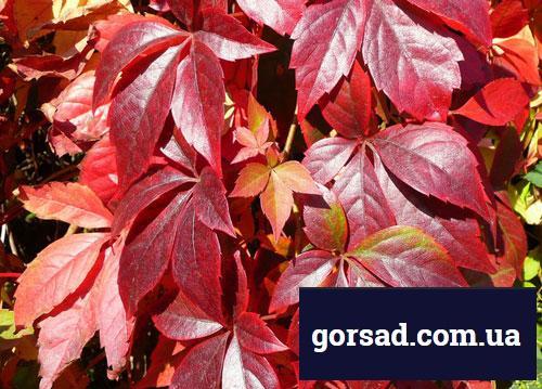 Виноград дівочий - багряні листя