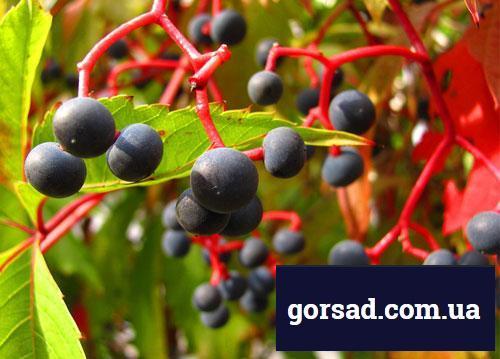 Виноград дівочий - ягоди