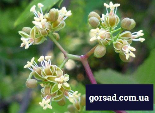 Виноград дівочий - квіти
