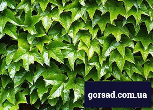 Виноград дівочий - зелене листя