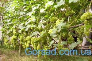 vinograd-na-dache