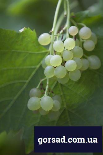 vinograd-ob1
